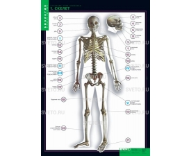 """Таблицы """"Строение тела человека"""" (10 таблиц+80 карт.)"""